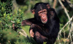 Chimpanzee Tracking in Burundi
