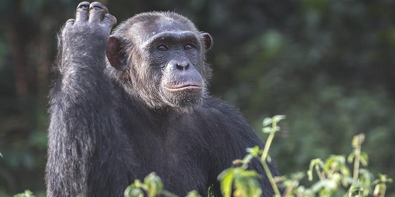 Chimpanzee Tracking Tours Burundi